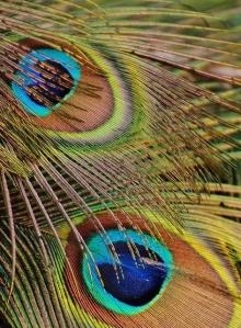 Veren pauw -uitsnede